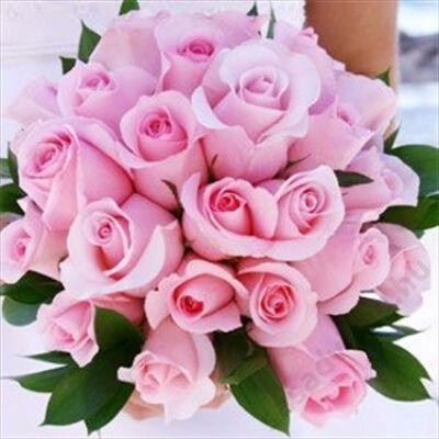 25 szál rövid rózsaszín rózsa